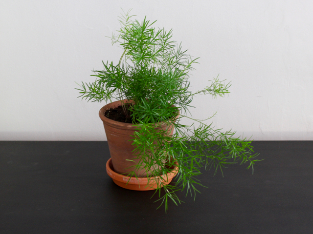 Houseplants | Asparagus Fern | Asparagus densiflorus