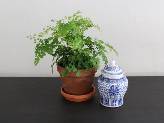 Maidenhair Fern | Adiantum fragrans