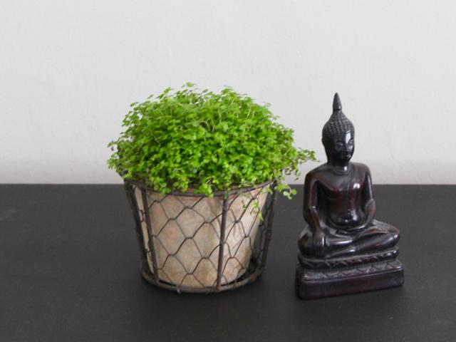 Houseplants | Mind Your Own Business | Soleirolia soleiroli