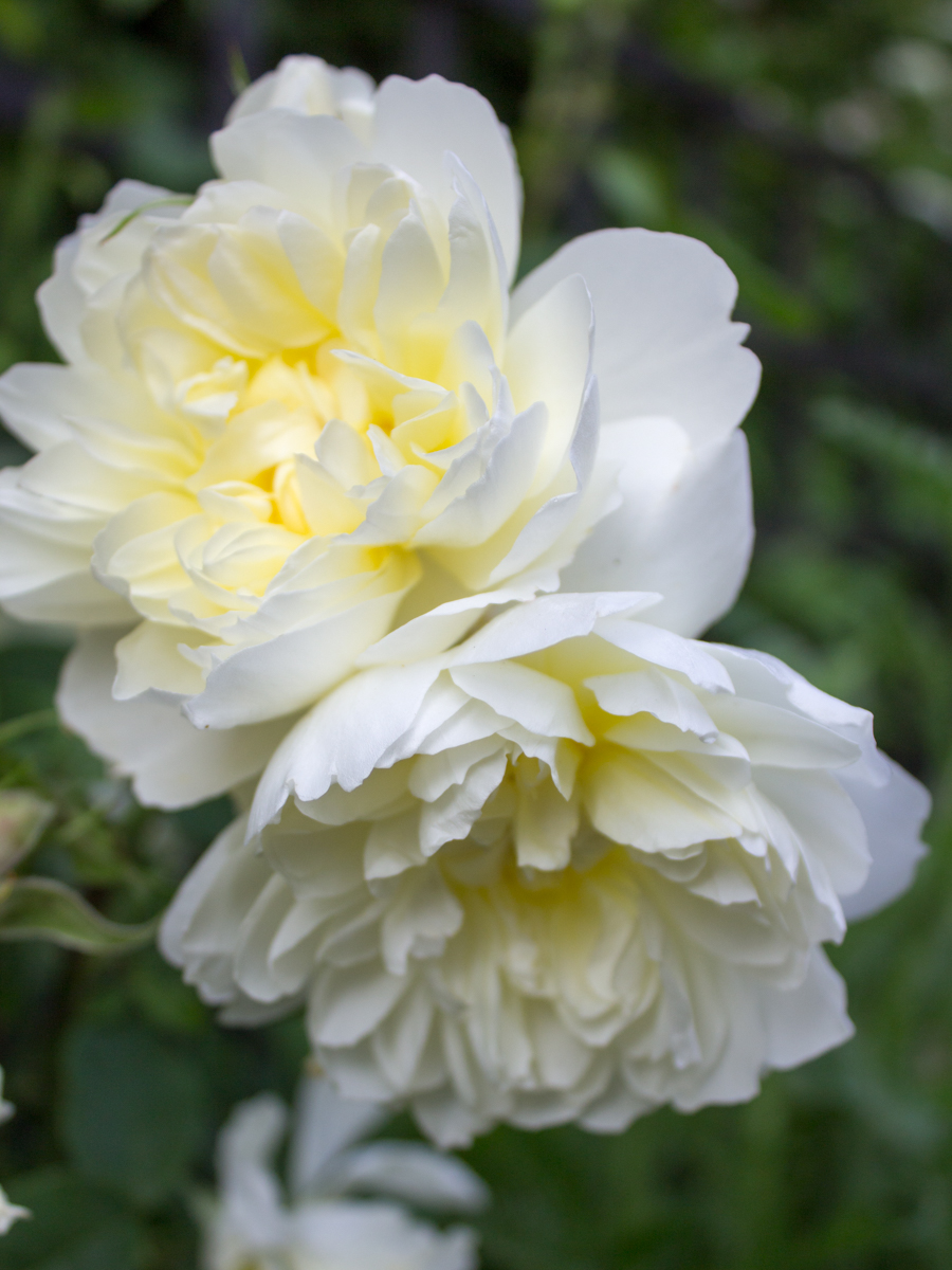 Rose Imogen